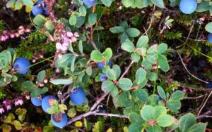 Rauðaskriða - Blueberries